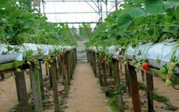 Agricoltura della fragola. Fotografie Stock Libere da Diritti