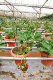 Agricoltura della fragola Fotografia Stock
