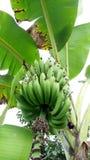 Agricoltura della frutta della banana tropicale Fotografia Stock Libera da Diritti