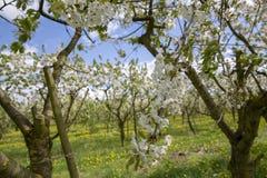 Agricoltura della frutta in Olanda Fotografia Stock