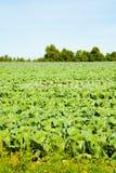 Agricoltura della lattuga Immagini Stock