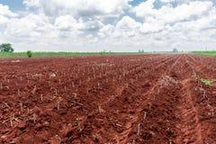 Agricoltura della manioca Immagine Stock Libera da Diritti