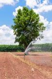 Agricoltura della manioca Fotografia Stock