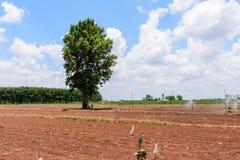 Agricoltura della manioca Fotografia Stock Libera da Diritti