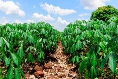 Agricoltura della manioca Fotografie Stock Libere da Diritti