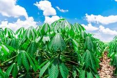 Agricoltura della manioca Immagine Stock