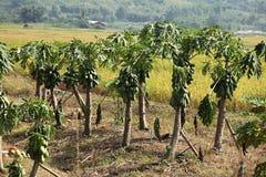 Agricoltura della papaia Fotografia Stock Libera da Diritti