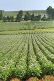 Agricoltura della patata Fotografie Stock Libere da Diritti