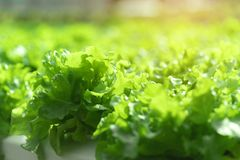 Agricoltura della pianta di coltura idroponica Fotografie Stock