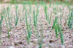 Agricoltura della pianta di lampadina all'aratro Fotografia Stock Libera da Diritti