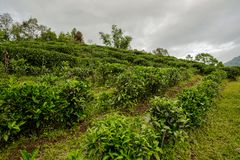 Agricoltura della pianta di tè nella terra del campo da usare per la bevanda Fotografia Stock Libera da Diritti