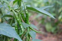 Agricoltura della piantagione del peperoncino rosso di economia di sufficienza in Tailandia Fotografia Stock