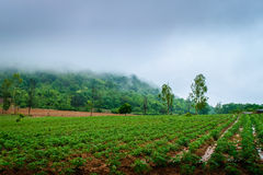 Agricoltura della piantagione della manioca Fotografie Stock