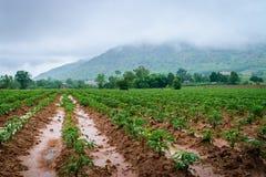Agricoltura della piantagione della manioca Fotografia Stock