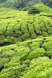 Agricoltura della piantagione di tè Immagine Stock Libera da Diritti