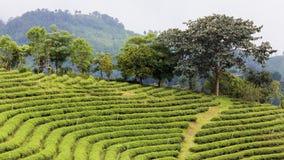 Agricoltura della piantagione di tè, paesaggio naturale Immagini Stock Libere da Diritti