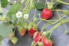 Agricoltura della plastica di uso dell'azienda agricola di Stawberry Fotografia Stock