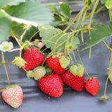 Agricoltura della plastica di uso dell'azienda agricola di Stawberry Fotografie Stock