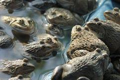 Agricoltura della rana dell'agricoltore in Tailandia Fotografia Stock