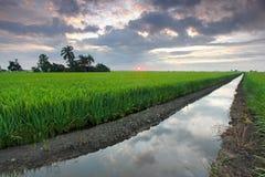 Agricoltura della risaia Fotografia Stock