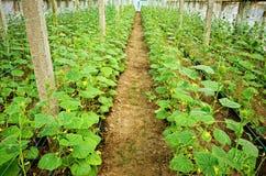 Agricoltura della serra Immagini Stock