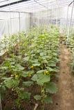 Agricoltura della serra Fotografia Stock