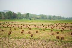Agricoltura della soia Fotografia Stock Libera da Diritti