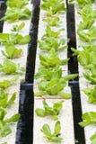 Agricoltura della verdura di coltura idroponica Fotografia Stock Libera da Diritti