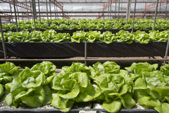 Agricoltura della verdura di coltura idroponica Fotografie Stock