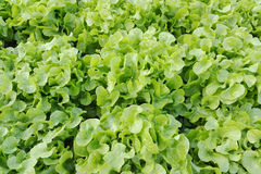 Agricoltura della verdura di coltura idroponica Immagini Stock