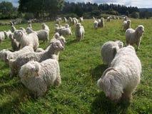 Agricoltura delle capre Fotografia Stock Libera da Diritti