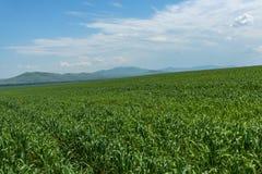 Agricoltura delle montagne del campo dell'avena Fotografia Stock Libera da Diritti