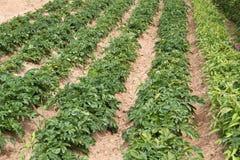 Agricoltura delle patate ben note della Jersey Royals Fotografia Stock Libera da Diritti