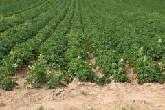 Agricoltura delle patate ben note della Jersey Royals Immagini Stock