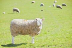 Agricoltura delle pecore Fotografie Stock