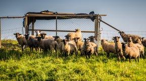 Agricoltura delle pecore Fotografia Stock Libera da Diritti