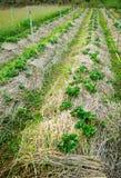 Agricoltura delle piante di fragola Immagini Stock Libere da Diritti