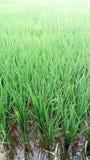 Agricoltura delle piante di riso tropicale Fotografia Stock Libera da Diritti