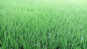 Agricoltura delle piante di riso tropicale Fotografie Stock Libere da Diritti