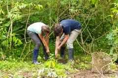 Agricoltura delle radici della manioca Fotografia Stock