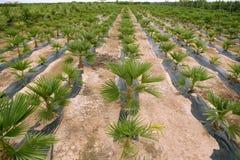 Agricoltura delle righe ornamentali delle palme Fotografie Stock