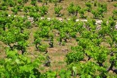 Agricoltura delle vigne Immagine Stock Libera da Diritti