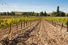 Agricoltura delle vigne Immagini Stock