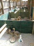 Agricoltura dello struzzo Fotografia Stock Libera da Diritti
