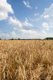 Agricoltura di agricoltura - culture dei campi del grano Immagine Stock Libera da Diritti