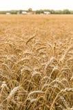 Agricoltura di agricoltura - culture dei campi del grano Immagine Stock