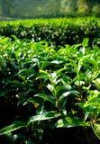 Agricoltura di albero del tè sulla collina Immagini Stock
