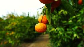 Agricoltura di California del raccolto dell'alimento dei mandarini del frutteto degli agrumi archivi video