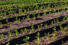 Agricoltura di coltura idroponica Fotografia Stock Libera da Diritti