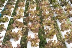 Agricoltura di coltura idroponica Fotografia Stock